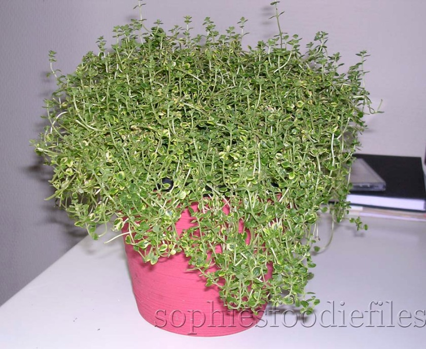 My lovely lemon thyme plant!