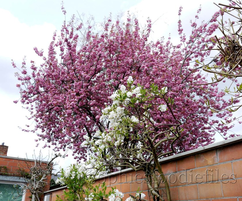 The pink blossoms of our neighbour's cherry tree!