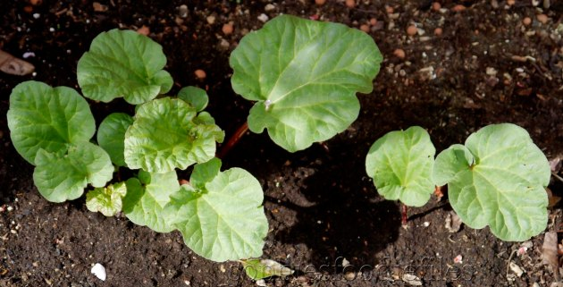 Home grown rhubarb!