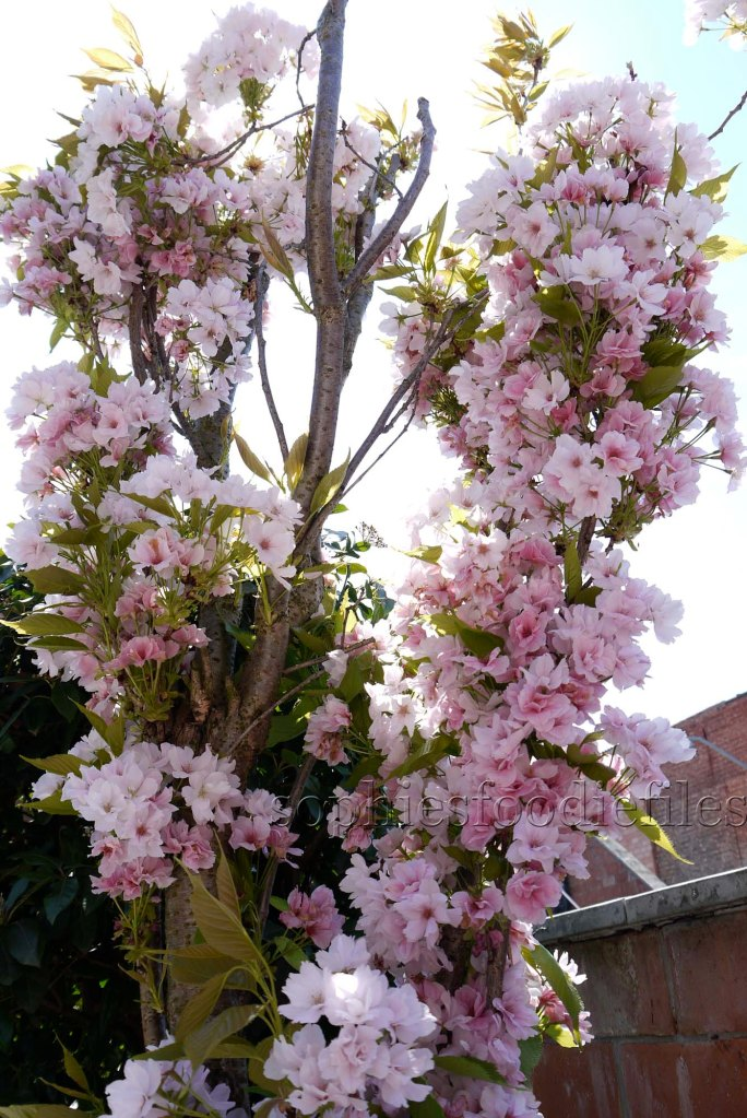 The lovely pink blossoms of our Japanese cherry tree!