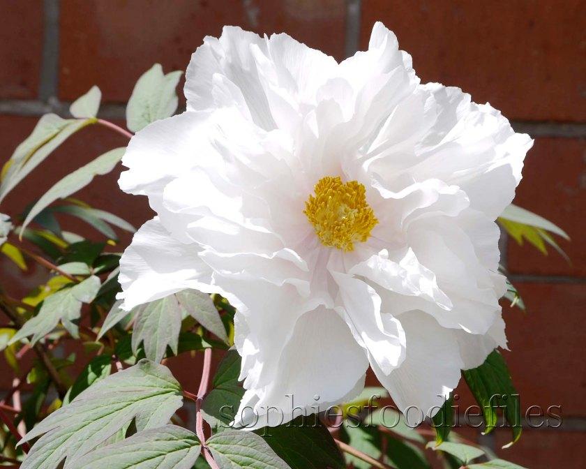 One of the 11 beautiful 3 Peyony rose!