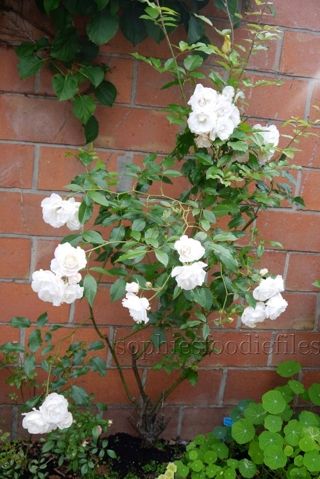 My white roses are in full bloom! They scent amazing!