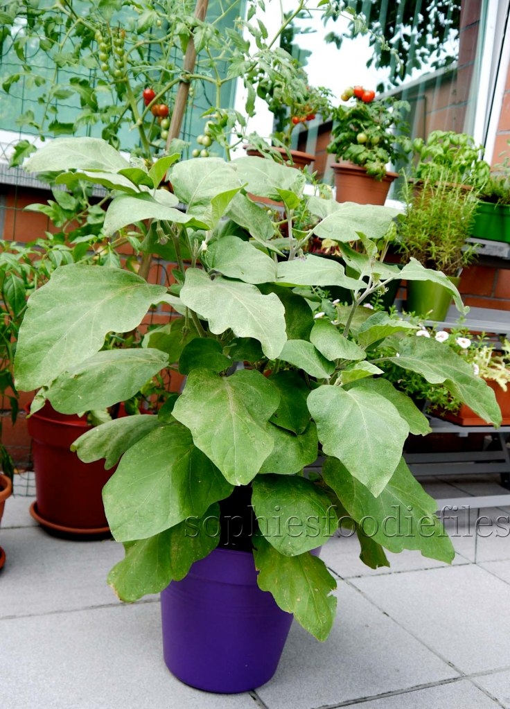 My lovely aubergine plant!