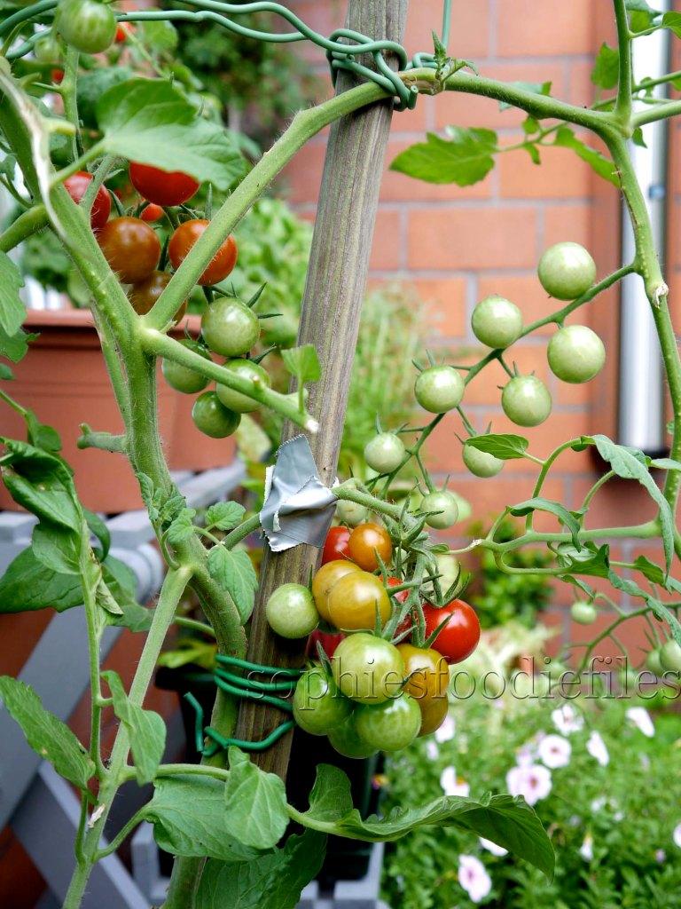 I already ahve had 90 cherry tomatoes from my big plant!