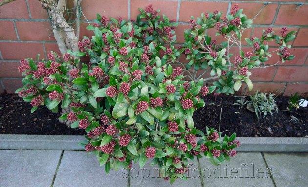 My beautiful Red skimmia plant!
