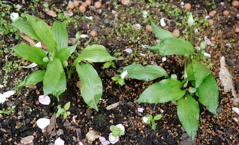 Wild garlic, we planted them 1 year ago!