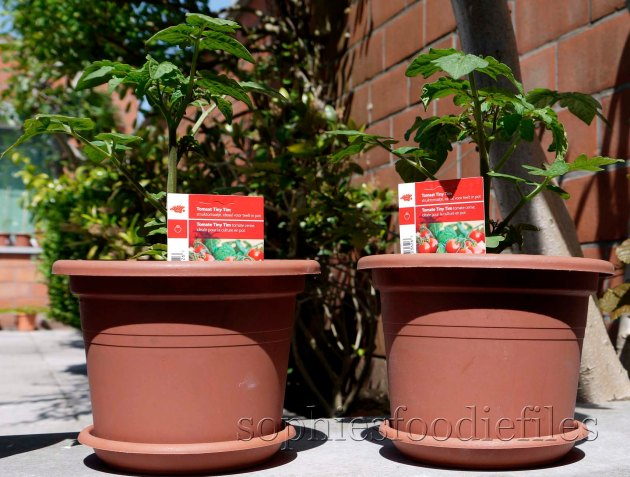 My Tiny Tim tomato plants!