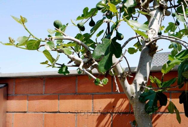 My bigger fig tree, already producing big figs but still unripe!