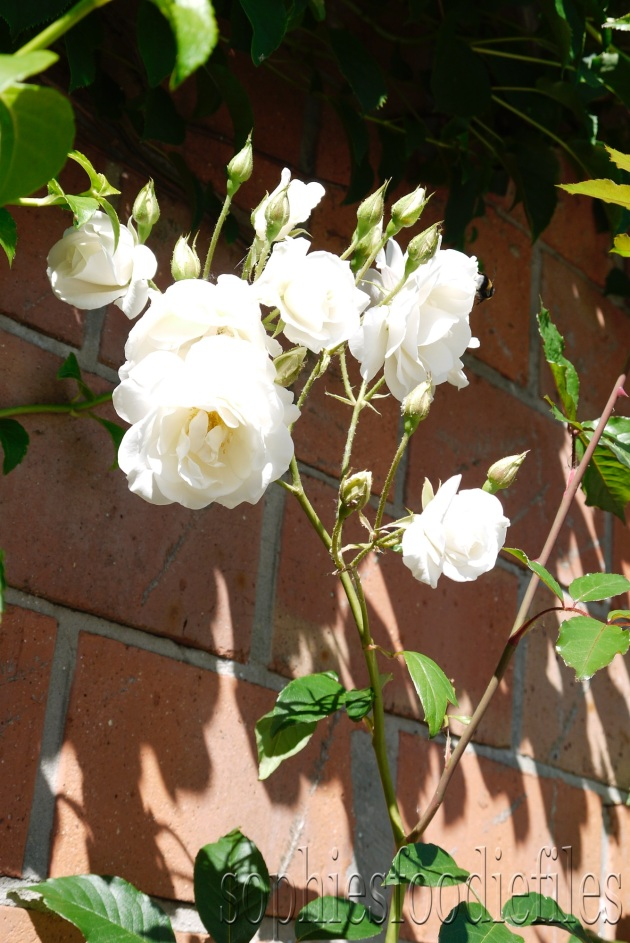 Georgous white roses!