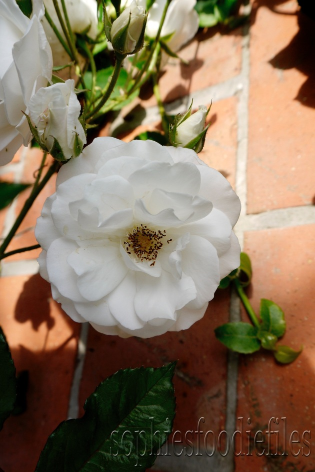 A lovely white rose!