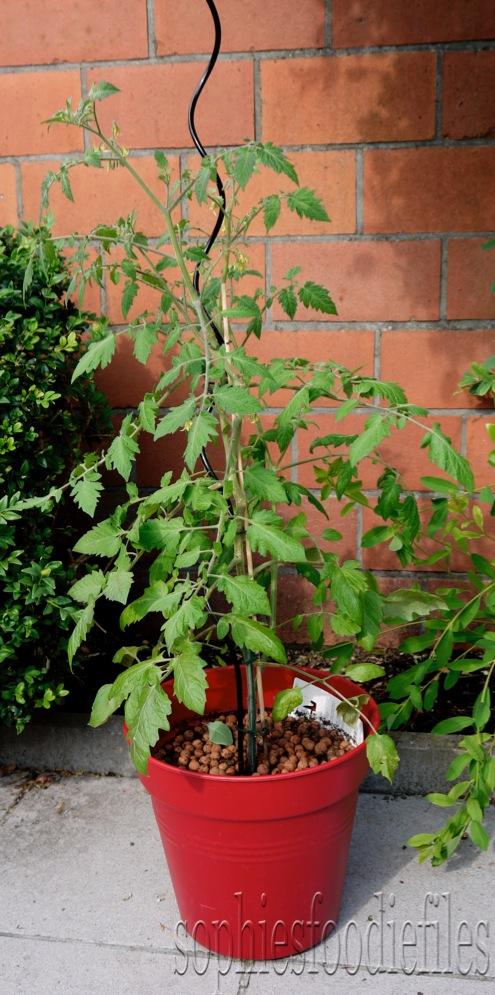 My oval cherry tomato plant!