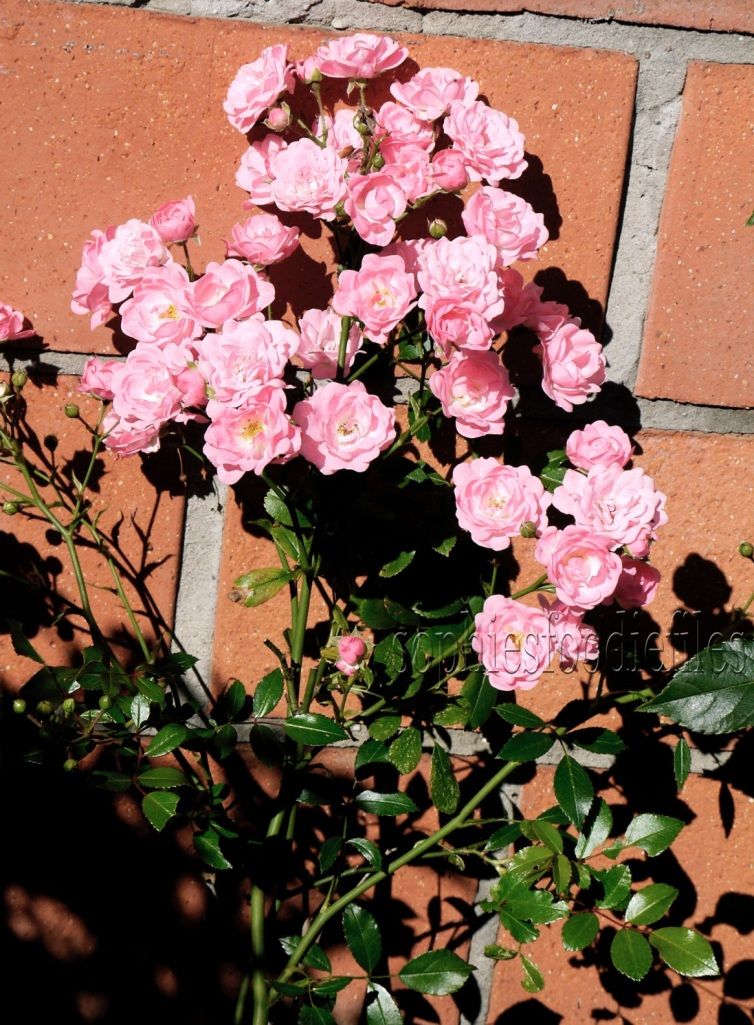My beautiful pink wild roses!