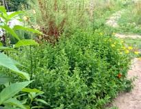 Fresh Morrocan mint plants