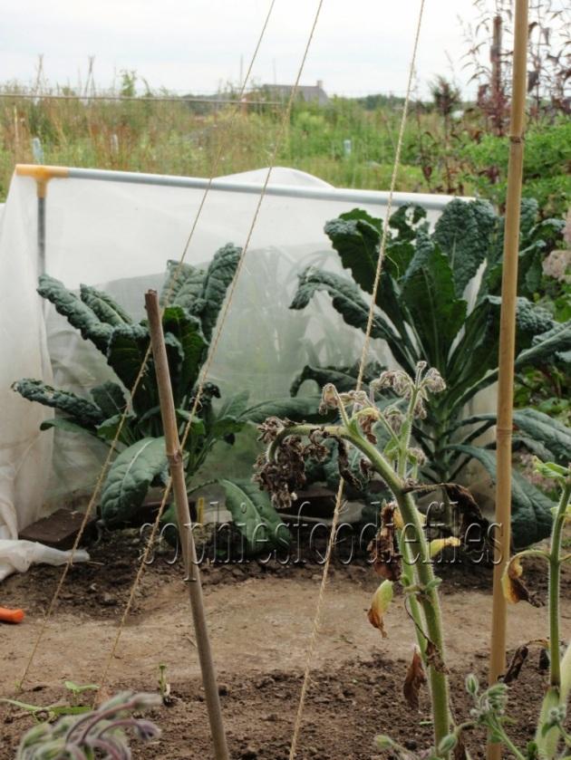2 Cavolo nero kale plants!