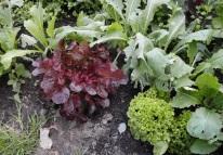 mixed salad crops & turnips