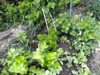 plant onions, green celery plants, curled parsley plants & strawberries