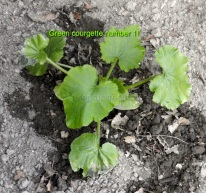 All 3 green courgette plants are grown from seed!