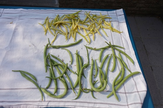 the 1st yellow fine beans & long green beans