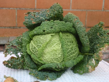 Savoy Cabbage!